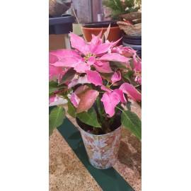 Poinsettia Estrella Rosa